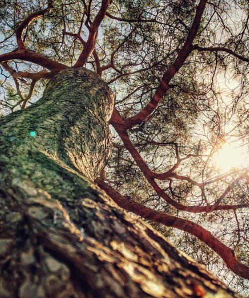 arbre tortueux soleil