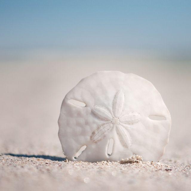sand dollar1