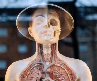 poumon diaphragme
